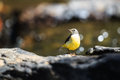 Grey Wagtail  standing on rock Royalty Free Stock Photo