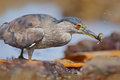 Grey water bird night heron sitting on the stone, in the water, fish in the bill Royalty Free Stock Photo