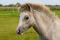 Grey Welsh pony foal Royalty Free Stock Photography
