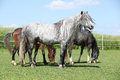 Grey welsh pony standing on pasturage in front of others Royalty Free Stock Photos