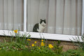 Grey and white cat looking out of window of house onto garden Stock Photo