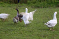 Grey and white domestic gooses on the green grass