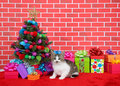 Grey and white tabby kitten next to christmas tree Royalty Free Stock Photo