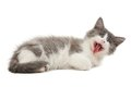 Grey and white yawning kitten cute little fluffy isolated on background Royalty Free Stock Image