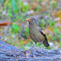 Grey winged blackbird beautiful bird female turdus boulboul standing on the log breast profile Royalty Free Stock Photography