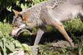 Grey wolf canis lupus adult gray or looking for food Royalty Free Stock Photography
