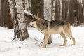 Grey Wolf Canis lupus Alertly Looks Left