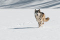 Grey Wolf (Canis lupus) Comes Running Royalty Free Stock Photo