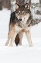 Grey wolf canis lupus copy space bottom captive animal Royalty Free Stock Images