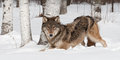 Grey wolf canis lupus crouches near treeline captive animal Stock Photo