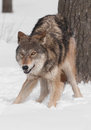 Grey wolf canis lupus crouches by tree captive animal Stock Image