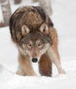Grey wolf canis lupus digs in snow captive animal Stock Images