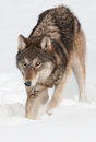 Grey wolf canis lupus digs in the snow captive animal Royalty Free Stock Photos