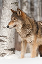 Grey wolf canis lupus in front of birch tree captive animal Royalty Free Stock Image