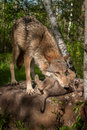 Grey Wolf Canis lupus Grabs Her Pup