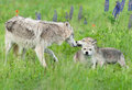 Grey Wolf Canis lupus Greets Pups