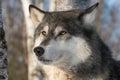 Grey Wolf Canis lupus Head One Ear Back