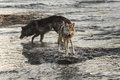 Grey Wolf Canis lupus Licks Chops in River