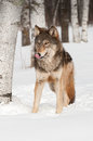 Grey wolf canis lupus licks nose captive animal Stock Photography