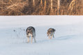 Grey Wolf Canis lupus Looks Back at Sibling