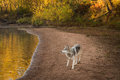Grey Wolf Canis lupus Looks Left Along River Beach