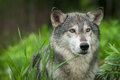 Grey Wolf Canis lupus Looks Out Head Right
