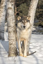Grey Wolf Canis lupus Looks Out from Between Trees