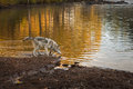 Grey Wolf Canis lupus Looks Into River