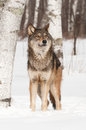 Grey wolf canis lupus looks up captive animal Royalty Free Stock Photography