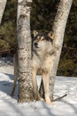 Grey Wolf Canis lupus Looks Up Between Trees