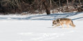 Grey wolf canis lupus moves left along snowy riverbed captive animal Royalty Free Stock Photo