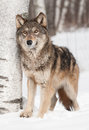 Grey wolf canis lupus next to birch looks up captive animal Royalty Free Stock Images