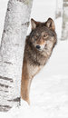 Grey wolf canis lupus peeks from behind birch tree captive animal Stock Photo
