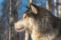 Grey Wolf Canis lupus Profile Tongue Out