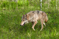 Grey wolf canis lupus prowls left through grasses captive animal Stock Images