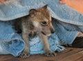 Grey wolf canis lupus pup bathtime captive animal Stock Photo