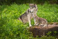 Grey Wolf Canis lupus Pup Begs From Adult