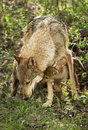 Grey wolf canis lupus and pup captive animal Stock Image