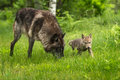 Grey Wolf Canis lupus With Pup