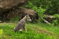 Grey Wolf Canis lupus Pup Sits Near Den