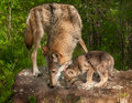 Grey wolf canis lupus and pup sniff atop rock captive animals Royalty Free Stock Photos