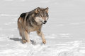 Grey wolf canis lupus runs along in snow captive animal Stock Photo