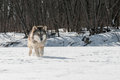 Grey wolf canis lupus runs along snowy riverbed captive animal Royalty Free Stock Image