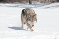 Grey wolf canis lupus runs along snowy riverbed tongue out captive animal Stock Image