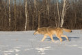 Grey Wolf Canis lupus Runs Left Through Snow