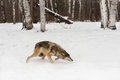 Grey Wolf Canis lupus Runs Right Tail Tucked