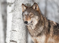 Grey wolf canis lupus by single birch tree captive animal Royalty Free Stock Photo