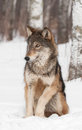Grey wolf canis lupus sits looking left captive animal Stock Photography