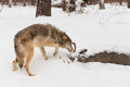 Grey Wolf Canis lupus Sniffs at Body of White-Tail Buck