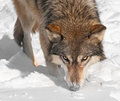 Grey Wolf (Canis lupus) Sniffs at Snow Royalty Free Stock Photography